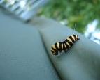 Wallpaper_Caterpillar_by_DKF.jpg